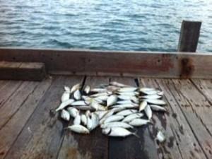 陣田筏の釣果