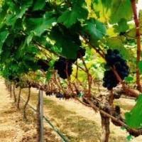 HuaHin Vineyard